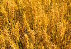 Wheat field. Gold ears wheat or rye. Complete grains close-up. The idea of a rich harvest. Organic golden ripe ears of wheat in field, soft focus, closeup royalty free stock photography