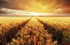 Wheat field with gold sunset landscape, Agriculture industry royalty free stock image