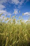 Wheat Field Golden Royalty Free Stock Images