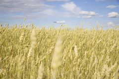 Wheat field golden and blue sky Royalty Free Stock Photography