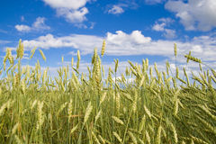 Wheat field golden and blue sky Stock Photo