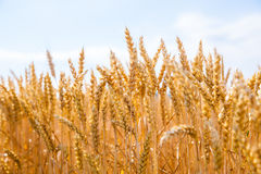 Wheat field. Golden field of wheat and blue sky above Royalty Free Stock Photo