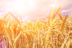 Wheat field in the golden evening sun Stock Photography