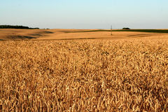 Wheat in the field Royalty Free Stock Images