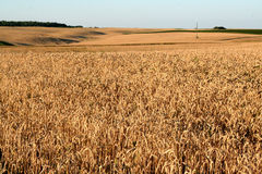 Wheat in the field Royalty Free Stock Image