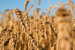 Wheat in the field. The wheat in the field is golden, gaining strength, ready for harvest. The photo can be used as a background or as separate elements for Stock Photos