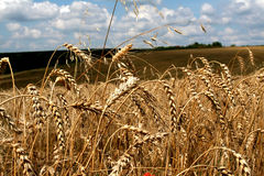 Wheat in the field Stock Image