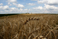 Wheat in the field Royalty Free Stock Photo