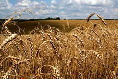 Wheat in the field. The wheat in the field is golden, gaining strength, ready for harvest. The photo can be used as a background or as separate elements for Royalty Free Stock Image