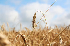 Wheat in the field. The wheat in the field is golden, gaining strength, ready for harvest. The photo can be used as a background or as separate elements for Royalty Free Stock Photo