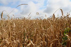 Wheat in the field. The wheat in the field is golden, gaining strength, ready for harvest. The photo can be used as a background or as separate elements for Royalty Free Stock Photos