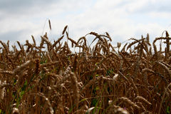 Wheat in the field. The wheat in the field is golden, gaining strength, ready for harvest. The photo can be used as a background or as separate elements for Royalty Free Stock Images