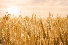 Wheat field in golden glow of the sun Royalty Free Stock Photo