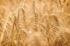 Wheat field - golden grain of wheat, beautiful crop field. Wheat field - golden grain of wheat, it is mean rich harvest royalty free stock images