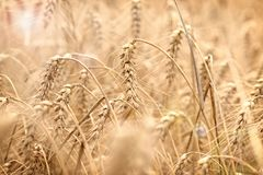 Wheat field, field of grain with lens flare-sun flare, grain field in the sun, wheat field bathed in sun. Wheat field - golden grain of wheat, it is mean rich stock image