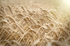 Wheat field, wheat field will bring a rich harvest - wheat field lit by sunlight in late afternoon. Wheat field - golden grain of wheat, it is mean rich harvest royalty free stock images