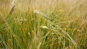 Wheat field, golden and green spikelets sway from the wind.  stock video footage