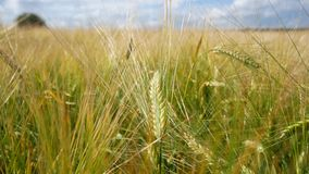 A wheat field, golden and green spikelets sway from the wind. Against a blue sky and white clouds.  stock footage