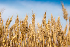 Wheat field. Golden wheat maturity, and harvest year stock photography