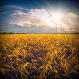 Wheat field_1 Royalty Free Stock Photo