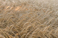 Wheat field. On summer day Stock Images