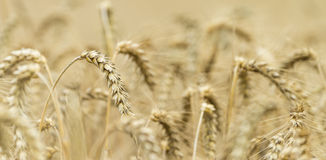 Wheat Field. Golden wheat field at a sunny day (close-up shot Stock Images