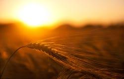 Wheat field in golden sunset Stock Photo