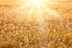 Wheat field golden sunset background Stock Photography