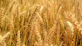 Wheat field. Golden wheat ears in agricultural cultivated field. stock video