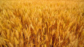 Wheat field. Golden wheat ears in agricultural cultivated field. Stock Photos