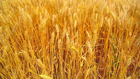 Wheat field. Golden wheat ears in agricultural cultivated field. Royalty Free Stock Images