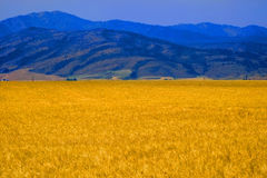 Wheat Field Grain Farming with Mountains Stock Image