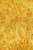 Wheat Field Grain Farming Ripe and Ready for Harvest Royalty Free Stock Images
