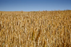 Wheat Field. Grain growing in a farm field over bright sun Stock Photography