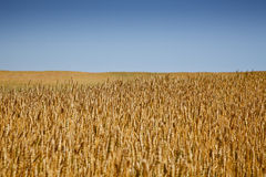 Wheat Field. Grain growing in a farm field over bright sun Royalty Free Stock Photo