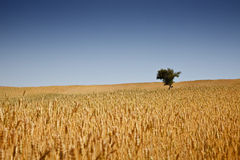 Wheat Field. Grain growing in a farm field over bright sun Royalty Free Stock Photography