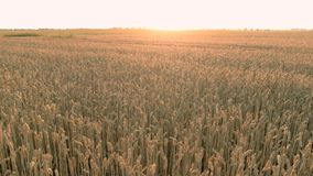 Wheat field grains panorama. stock video footage