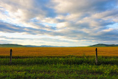 Wheat  field in grassland Stock Photo