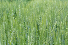 Wheat. The field of green wheat Stock Photography