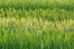 Wheat. The field of green wheat Royalty Free Stock Image