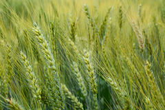 Wheat. The field of green wheat Stock Image