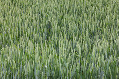 Wheat field green background details shot Royalty Free Stock Image