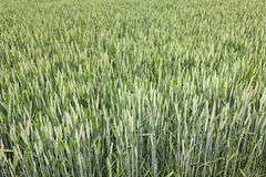 Wheat field green background details shot Stock Image