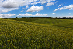 Wheat field. Green wheat field on the blue sky and clouds background Stock Images