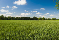 Wheat. Field (wheat) in green colors; trees on horizon; deep blue sky Stock Images