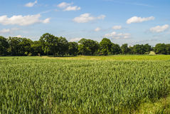 Wheat 2. Field (wheat) in green colors; trees on horizon; deep blue sky Royalty Free Stock Image