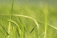 Wheat field. Green wheat field in the early summer days Royalty Free Stock Photography