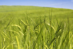 Wheat field. Green wheat field in the early summer days Royalty Free Stock Images