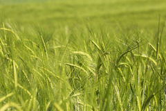 Wheat field. Green wheat field in the early summer days Stock Photography