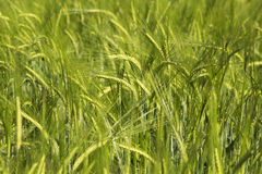Wheat field. Green wheat field in the early summer days Stock Photos
